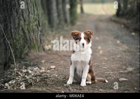 Australian Shepherd Puppy Sitting On Forest Way, Shallow Depth Of Field. - Stock Image