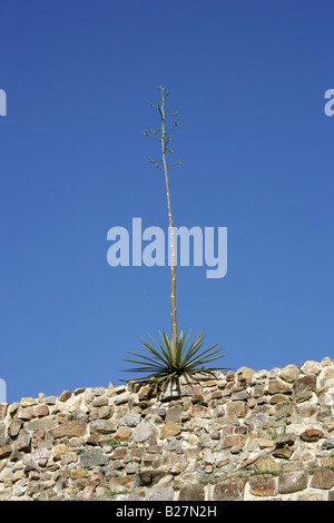 Agave Plant Growing on Building L or Dancers Building, Monte Alban, Oaxaca, Mexico - Stock Image