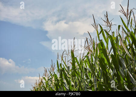 Cornfield in late summer, Amish Country, Lancaster County, Pennsylvania, USA - Stock Image