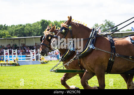 90th Kent County Show, Detling, 6th July 2019. Suffolk Punch heavy horses circle a parade ring. - Stock Image