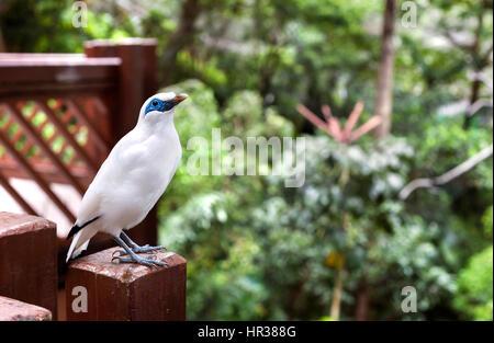Bali Mynah bird at the Edward Youde Aviary, Hong Kong Park - Stock Image