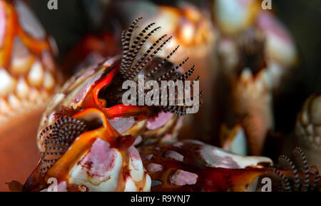 Gooseneck barnacles, Pollicipes polymerus - Stock Image