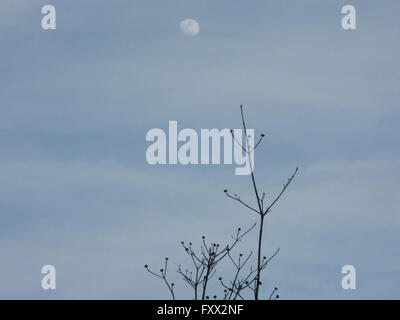 The full moon is out in the early evening sky on a lovely spring day in New York State. Rockefeller State Park Preserve - Stock Image
