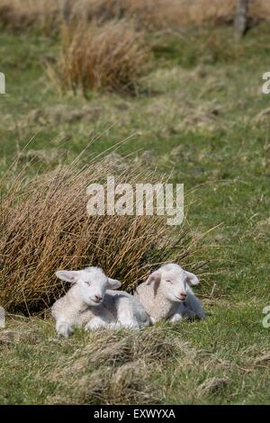 Two lambs on meadow, Sylt, Schleswig-Holstein, Germany, Europe - Stock Image