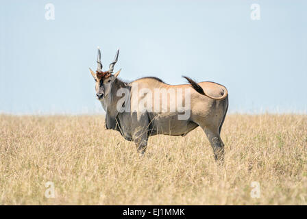 A male eland standing in a field of grass in the Masai Mara of Kenya. - Stock Image