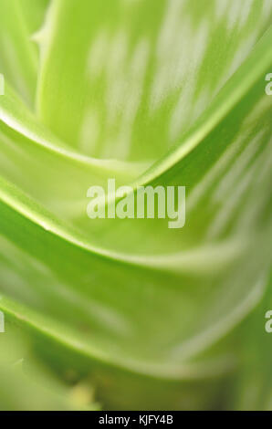 Extreme soft focus close-up of an Aloe Vera plant, (aloe barbadensis) - Stock Image