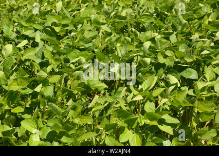 young soybean plants before flowering, soy field with young soy plants grow in bavaria at july - Stock Image