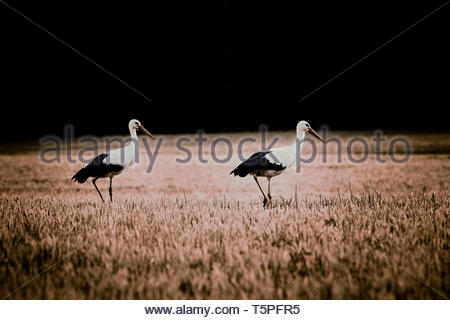 Family stork chilled on the field - Stock Image
