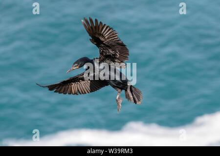 Cape Cormorant - Stock Image