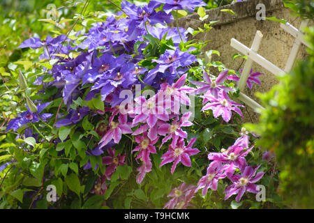 Beautiful pink and purple Clematis flowers in house garden - Stock Image