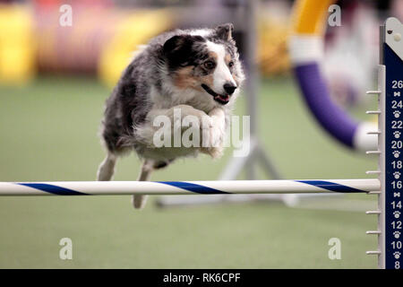 Westminster Dog Show - 9 February 2019, New York City:  Maia, a Border Collie, competing in the preliminaries of the Westminster Kennel Club's Master's Agility Championship. - Stock Image