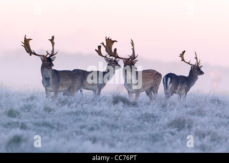 Fallow Deer (Dama dama), Four Bucks at Dawn ,during the Rut, Royal Deer Park, Klampenborg, Copenhagen, Sjaelland, - Stock Image
