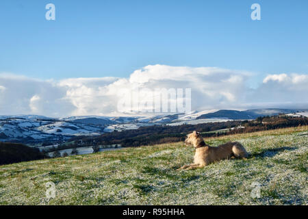 Powys, UK, winter. A lurcher dog resting on a walk over Stonewall Hill in the border country between England and Wales. - Stock Image
