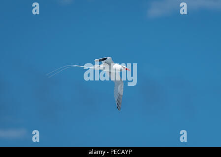 Red-billed Tropic Bird - Stock Image