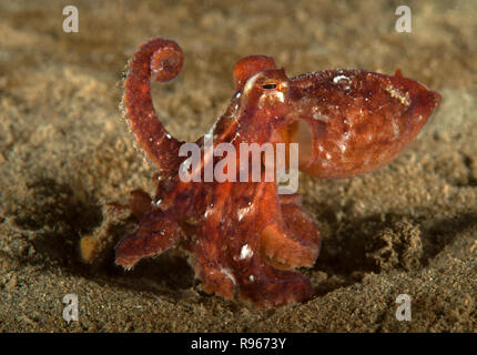 Octopus rubescens, Red octopus - Stock Image