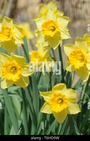 Narcissus Fortune (Large cupped Daffodil) flowers - Stock Image