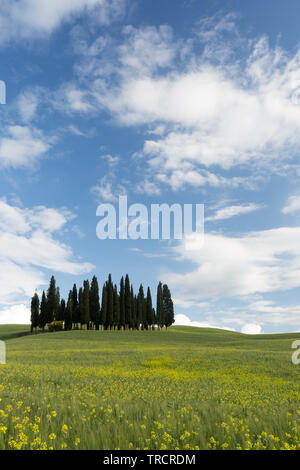 Yellow flowers and wheat in front of the famous cypress trees of Tuscany - Stock Image