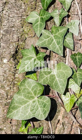 Hedera helix leaves (Common Ivy, English Ivy, European Ivy) growing up a tree in Winter in the UK. - Stock Image