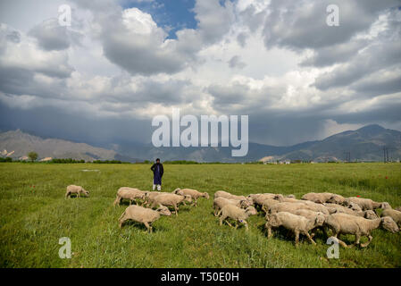 Srinagar, Jammu and Kashmir, India. 18th Apr, 2019. A shepherd seen with a flock of sheep through an open field during a sunny spring day on the outskirts of Srinagar. Credit: Idrees Abbas/SOPA Images/ZUMA Wire/Alamy Live News - Stock Image