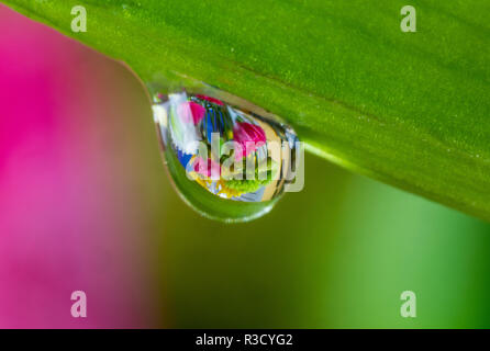 Dew reflecting flowers from Asiatic Lily - Stock Image