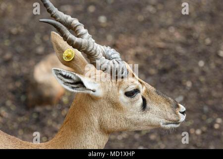 Indian Chinkara gazelle, closeup shots - Stock Image