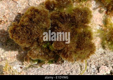 A hydroid (Hartlaubella gelatinosa) in a rockpool, UK - Stock Image