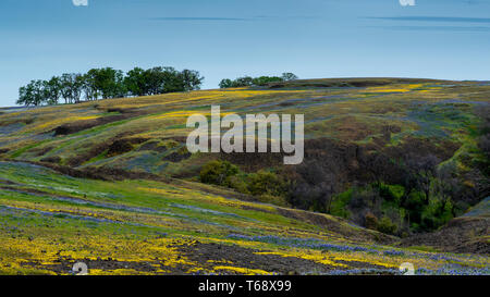 Landscape at North Table Mountain Ecological Preserve, Oroville, California, USA , on a sunny spring day, featuring oak trees, yellow and purple wildf - Stock Image