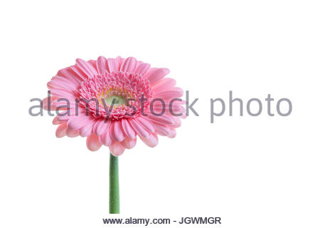 Pink Gerbera against white background closeup - Stock Image