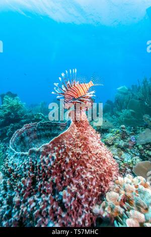 Coral garden in Caribbean - Stock Image