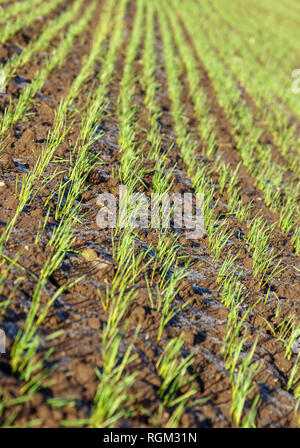 Fresh young shoots of a crop growing in rows in a field - Stock Image