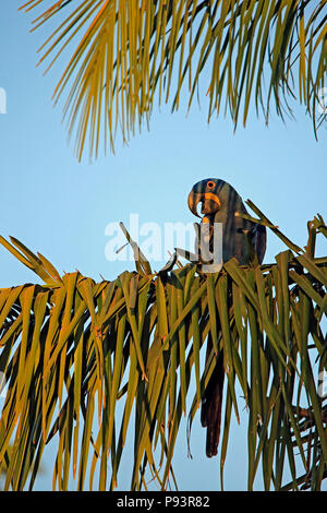 Hyacinth Macaw on a Palm Branch. Pantanal, Brazil - Stock Image