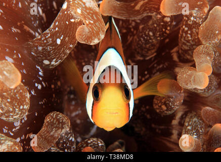 Orange-fin Anemonefish (Amphiprion chrysopterus) in Anemone. Anilao, Philippines - Stock Image