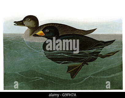 Black Scoter, Melanitta nigra, birds, 1827 - 1838 - Stock Image