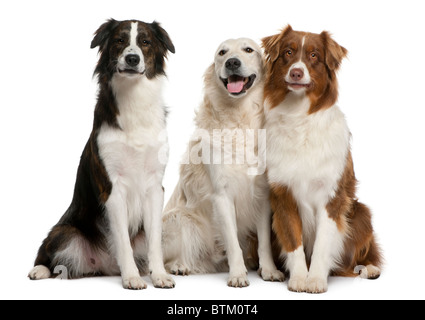 Group of three mixed-breed dogs in front of white background - Stock Image