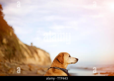 Labrador Retriever looking away while relaxing at beach - Stock Image