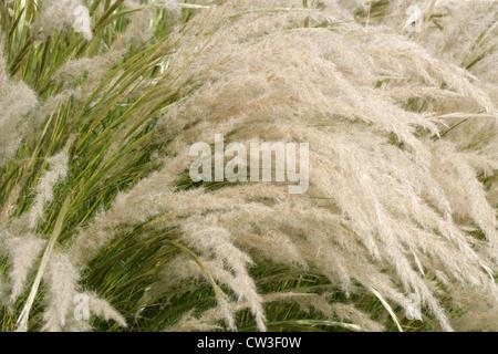 Peruvian Feathergrass, Stipa ichu (Jarava ichu), Poaceae. South and Central Americas, Mexico. - Stock Image