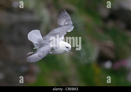 Northern fulmar (Fulmarus glacialis) adult in flight hovering on strong breeze by sea cliff. Shetland Isles. June. - Stock Image