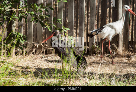 Black and white stork at Los Hornos Recovery Center of Wildlife, Caceres, Spain - Stock Image