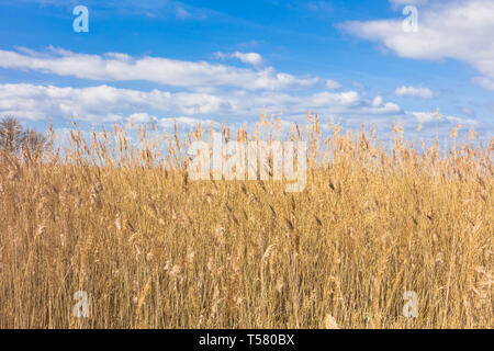 Reed beds of Newport Wetlands against blue sky with clouds South Wales UK. March 2019 - Stock Image
