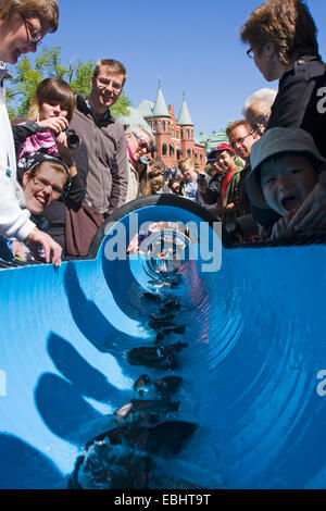 People in Nykoping, Sweden, watching young Sea trouts (Salmo trutta) being released into a river by a water slide. - Stock Image