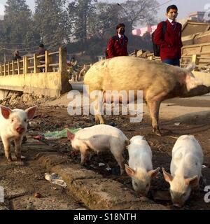 Pigs by a bridge, Kathmandu, 2017 - Stock Image