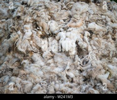 Close-up of shorn fleece from Welsh sheep. - Stock Image