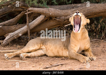 Lioness (Panthera leo) couching for a rest, yawning and waiting for the right moment to hunt - Stock Image