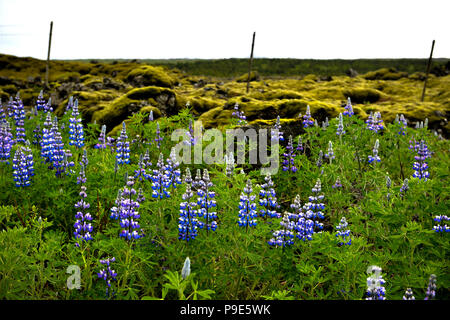 Blue Lupins and moss covered volcanic lava in Iceland - Stock Image