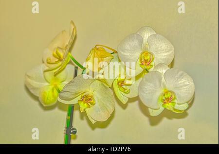 Digitally manipulated image of a White Phalaenopsis Orchid on white background - Stock Image