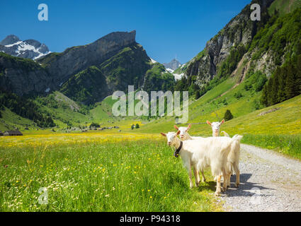 Appenzell goats at Seealpsee - Stock Image