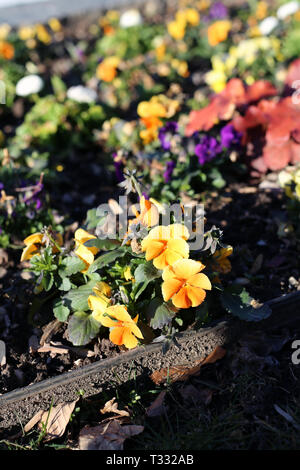 Colorful, mostly orange, pansy flowers in a flowerbed in Nyon, Switzerland. Beautiful bright colored little pansies were photographed during spring. - Stock Image