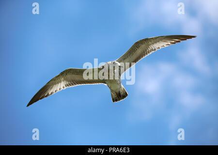 Seagull in flight, Niagara Falls, New York, USA - Stock Image