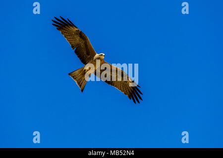 black kite, boulia, queensland, australia - Stock Image