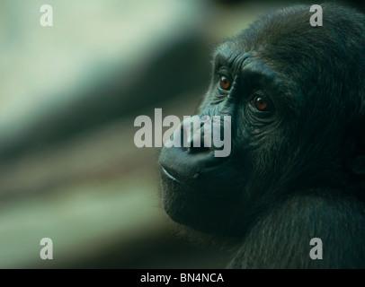 Melancholy Silverback Gorilla - Stock Image